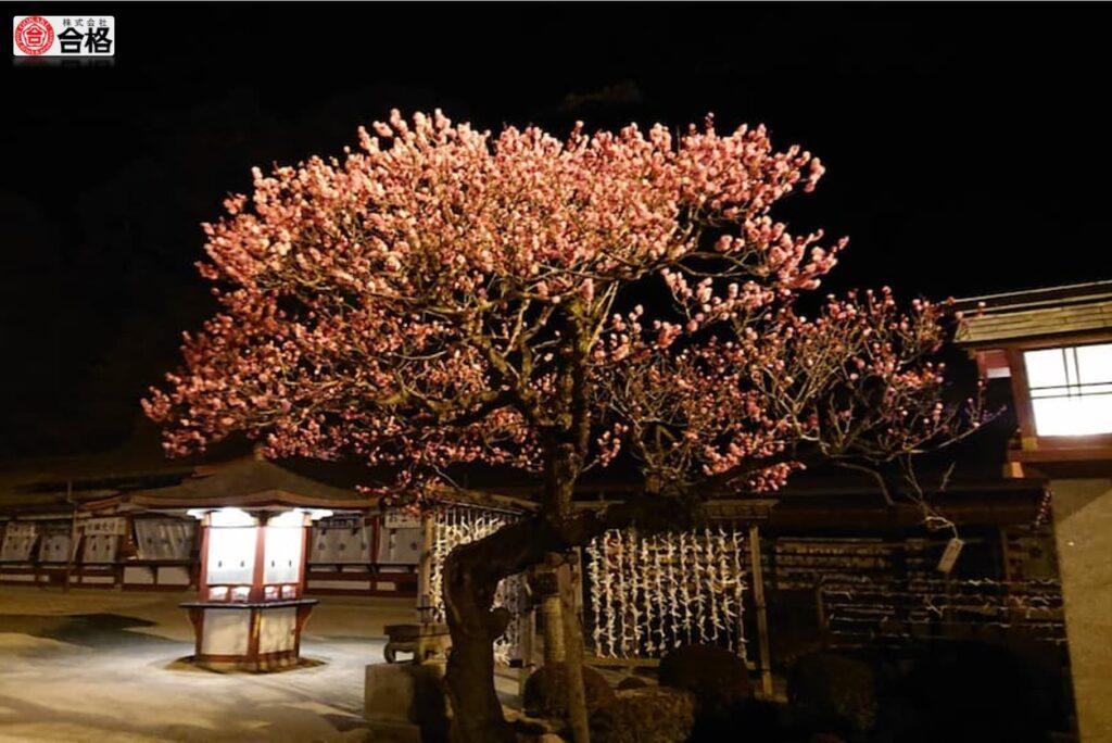 太宰府天満宮-夜の梅